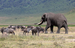 African elephant and herd of wildebeest. Huge african elephant (Loxodonta Africana) walking near a herd of blue wilebeest (Connochaetes taurinus) in Ngorongoro Royalty Free Stock Images