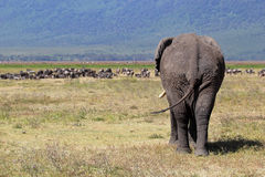 African elephant and herd of wildebeest. Huge african elephant (Loxodonta Africana) walking towards a herd of blue wilebeest (Connochaetes taurinus) in Royalty Free Stock Image