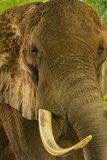 African elephant. Huge african elephants head with trunk and tusk Royalty Free Stock Photos