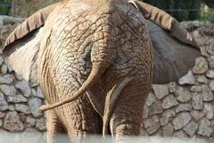African elephant. Huge Tail view. Stock Photo