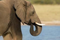 African elephant, Hwange National Park, Zimbabwe Royalty Free Stock Photos