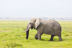Free African Elephant In Kenya Stock Photography - 40296112