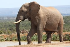 African Elephant In Musth Stock Photography