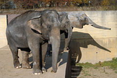 African elephant and Indian elephants Stock Photos