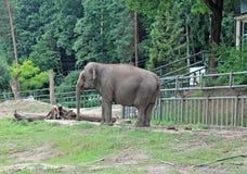 An African Elephant stock photos