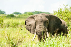 African Elephant. Ishsasha National Park Uganda stock images