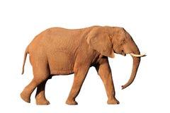 African Elephant Isolated Stock Photo