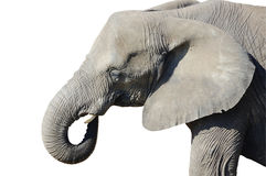 African Elephant Isolated Royalty Free Stock Photo