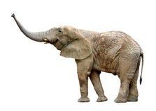 African elephant. Isolated on white Stock Photo