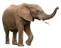 African Elephant Isolated on White. Large male African elephant with long curved tusks - isolated stock photography