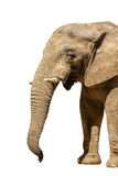 African Elephant isolated Stock Photo