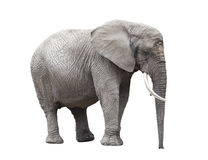 African elephant isolated on white. With clipping path Stock Photos