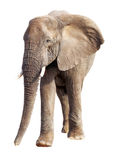 African Elephant Isolated on White Stock Images