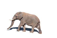 African Elephant, isolated in white. An African Elephant, Loxodonta africana, walking, isolated in white Stock Photography