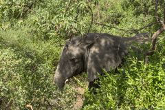 African Elephant in the jungle. In National Park Lake Manyara, Lake Manyara Conservation Area, Tanzania. Africa. African elephants are more famous for their stock photography