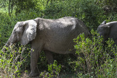 African Elephant in the jungle Stock Photography