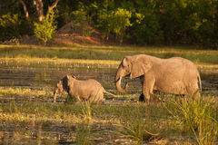African Elephant and juvenile cross a river. African Elephant (Loxodonta Africana) is enormous and unmistakable as the largest land animal on earth.  Adults have Royalty Free Stock Image