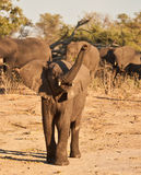 African Elephant juvinile charge. African Elephant (Loxodonta Africana) is enormous and unmistakable as the largest land animal on earth.  Adults have a life Stock Images