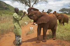 African Elephant keeper feeding milk to Adopted Baby African Elephants at the David Sheldrick Wildlife Trust in Tsavo national Par Stock Photo