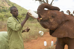 African Elephant keeper feeding milk to Adopted Baby African Elephants at the David Sheldrick Wildlife Trust in Tsavo national Par Royalty Free Stock Photo