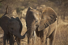African elephant in Kenia Stock Photography