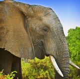 African Elephant, Kenya. Closeup view of an African elephant in Samburu National Park in Kenya, Africa royalty free stock photo