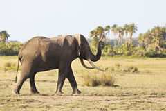 African Elephant in Kenya Stock Photography