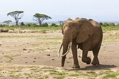 African Elephant in Kenya Royalty Free Stock Images