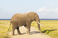 African Elephant in Kenya. An African Elephant in Amboseli National Park in Kenya crossing a dirt road Stock Photo