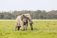 African Elephant in Kenya Royalty Free Stock Photos
