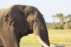 African Elephant in Kenya Stock Photo