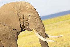 African Elephant in Kenya Stock Image