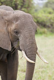 African Elephant in Kenya Stock Photography