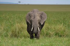 African Elephant in Kenya Royalty Free Stock Photo