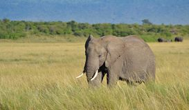 African Elephant in Kenya Stock Images