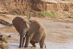 African elephant  on Kenyan riverbank. African elephant (Loxodonta Africana) on the banks of the Uaso Nyiro River in Kenya  drinking water and playing in the mud Royalty Free Stock Image