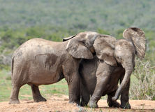 African Elephant kiss Royalty Free Stock Images