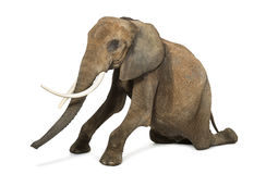 African elephant kneeling, performing, isolated Royalty Free Stock Image