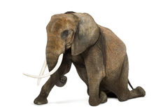 African elephant kneeling, performing, isolated Royalty Free Stock Photos