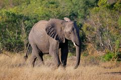 African elephant, Kruger N/P, South Africa Royalty Free Stock Image