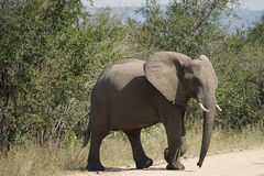 African Elephant Kruger National Park. An African Elephant Kruger National Park Royalty Free Stock Photos