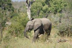 African Elephant Kruger National Park. An African Elephant Kruger National Park Stock Photos