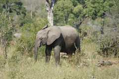African Elephant Kruger National Park royalty free stock photos