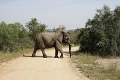 African Elephant Kruger National Park. An African Elephant Kruger National Park Royalty Free Stock Images