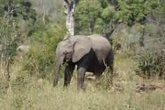African Elephant Kruger National Park. An African Elephant Kruger National Park Royalty Free Stock Image