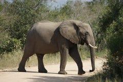 African Elephant Kruger National Park. An African Elephant Kruger National Park Stock Photo