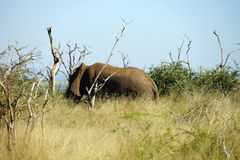 African Elephant Kruger National Park royalty free stock photo