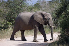 African Elephant Kruger National Park Royalty Free Stock Photography