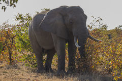 African Elephant - Kruger National Park Royalty Free Stock Photos