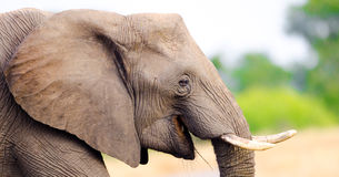 African Elephant. Kruger National Park, South Afri Stock Photos